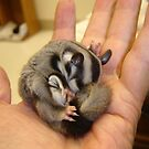 Tired Sugar Glider by FLY911