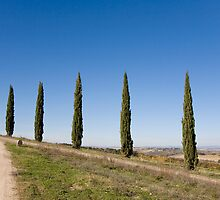 Tuscan Cyprus Trees by Tony Cicero