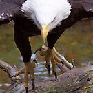 Talons   Bald Eagle by IanPharesPhoto