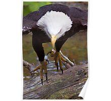 Talons   Bald Eagle Poster