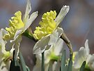 ~Spring Looking Glass~ by NatureGreeting Cards ©ccwri