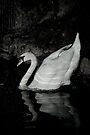 Elegant Swan by Matt Sillence