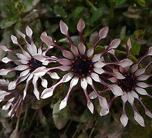 PinWheel Daisy by Julia Mainwaring-Berry