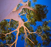 The Ghost Gum, 27 February 2008 by Steven Pearce