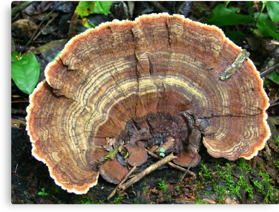 Brown Bracket Fungus in the Jungle by Laurel Talabere