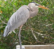 Great Blue Heron at Santa Cruz by Laurel Talabere