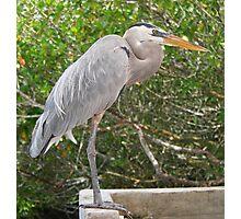 Great Blue Heron at Santa Cruz Photographic Print