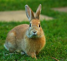 Bunny in Yamba, New South Wales by groophics