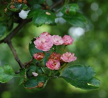 darling buds of May by Lindy deMelo