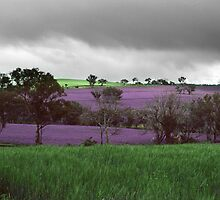Paterson's Curse near Bathurst NSW by Elmacca