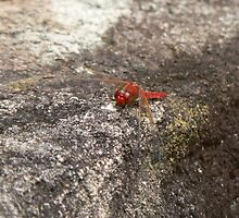 Dragonflies Are Red by louisegreen
