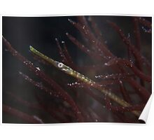Pipefish. Poster