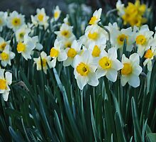 White Daffodils by sarahshanely