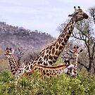 THE &quot;TRIPLETS&quot; HUG - GIRAFFE  Giraffa camelopardalis by Magaret Meintjes