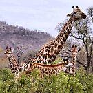 "THE ""TRIPLETS"" HUG - GIRAFFE – Giraffa camelopardalis by Magaret Meintjes"
