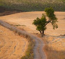 almond tree on the country road by jhawa