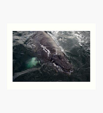 Baby Humpback Whale Art Print