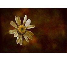 the last daisy Photographic Print