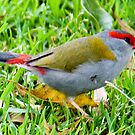 Red Browed Firetail, Queensland, Australia by Adrian Paul