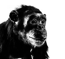 Chimpanzee by Claire Doherty