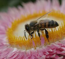 Bee 1 by squires