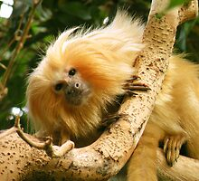 Golden Lion Tamarin by starbucksgirl26