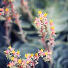 Echeveria #2 by ALICIABOCK