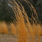 Winter Grasses by MaupinPhoto