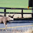 Deer Crossing  by Mark  Christensen