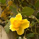 Yellow climbing rose by Rosemaree