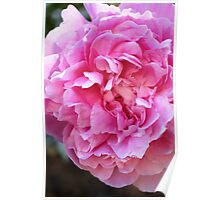 Pink-Peony Flower Poster