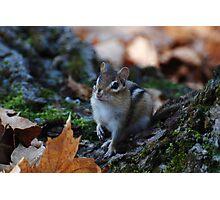 Wild Chipmunk Photographic Print