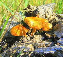 Cow dung mushrooms by kachr00