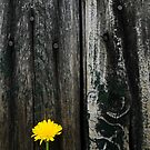 Dandelion Series Wood Abstract by Eric Abernethy