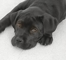 Cane Corse Mastiff Puppy by Christine Till  @    CT-Graphics
