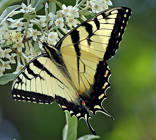 Eastern Tiger Swallowtail by BigD