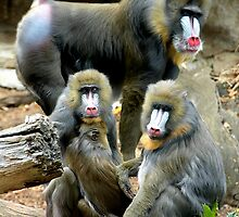 Family of Mandrills  by Steven  Agius