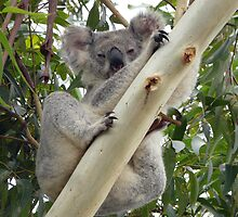 Blinky Bill Jr by stevealder