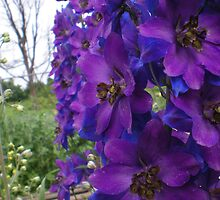Delphiniums. by Graepear