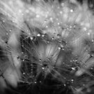 Dandelion Study #4 by David Hawkins-Weeks