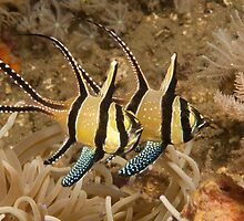 Banggai Cardinalfish, North Sulawesi, Indonesia by Erik Schlogl