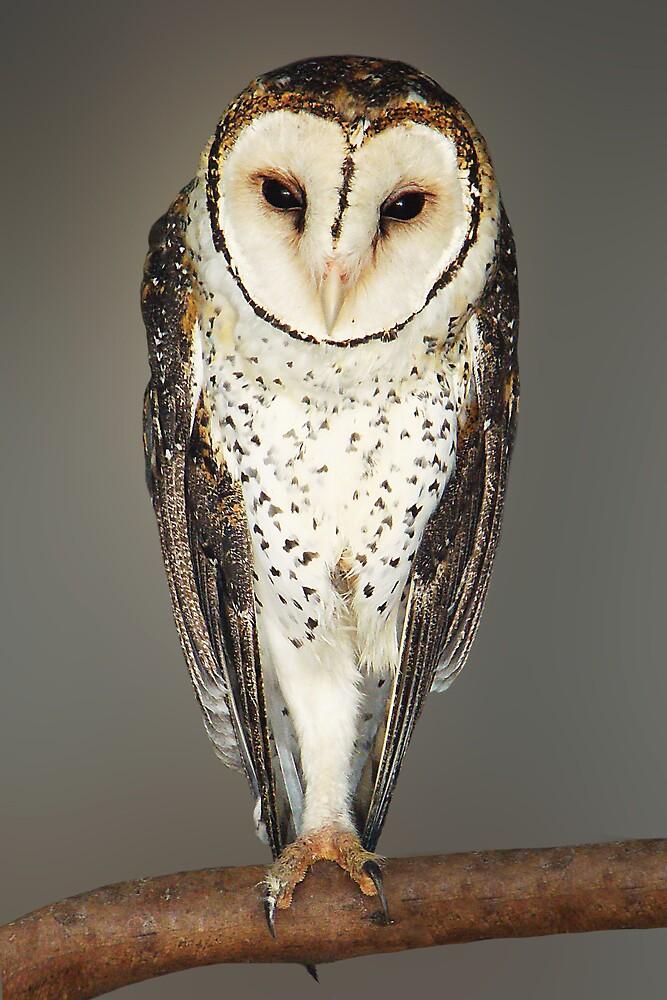 AUSTRALIAN MASKED OWL by Michael Sheridan