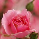 Pink Blur- Roses by Rosemaree