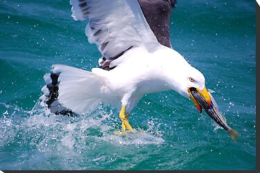 It&#x27;s Mine - Pacific Gull by Ian Berry