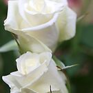 Twin White Roses by Rosemaree