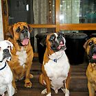 Bindi (foster), Mega, Caesar and Nala by dolmixedbreeds