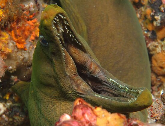 Green Moray Eel by Allan Saben