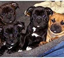 Dazzlnstaff Stafford puppies by dolbullbreeds