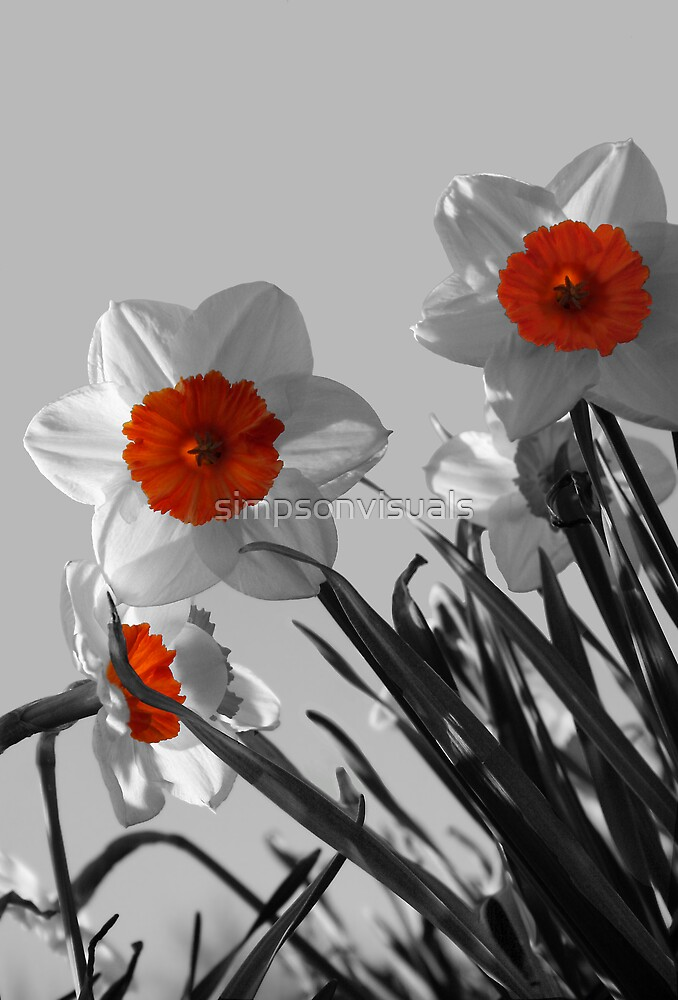 Curious Daffodils by simpsonvisuals