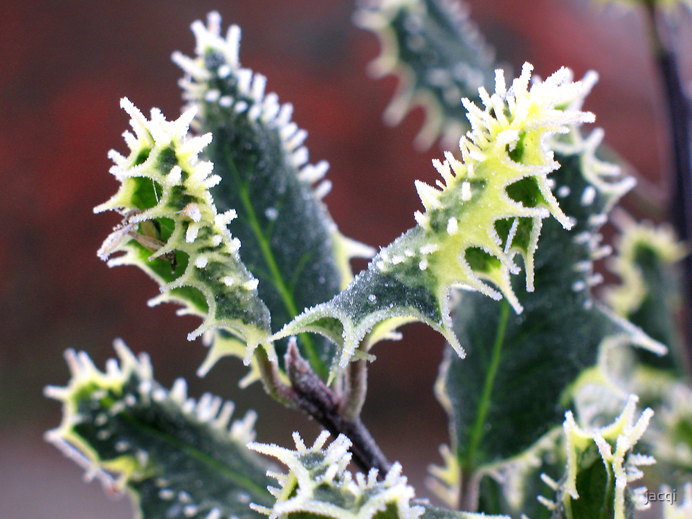 Frosted Holly by jacqi